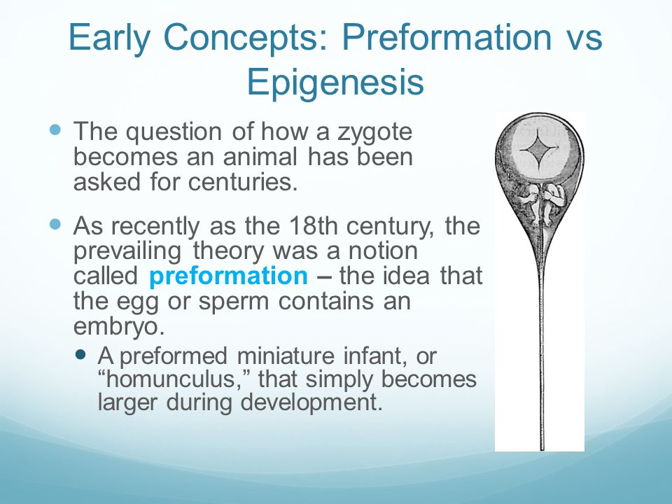 Early Concepts: Preformation vs Epigenesis