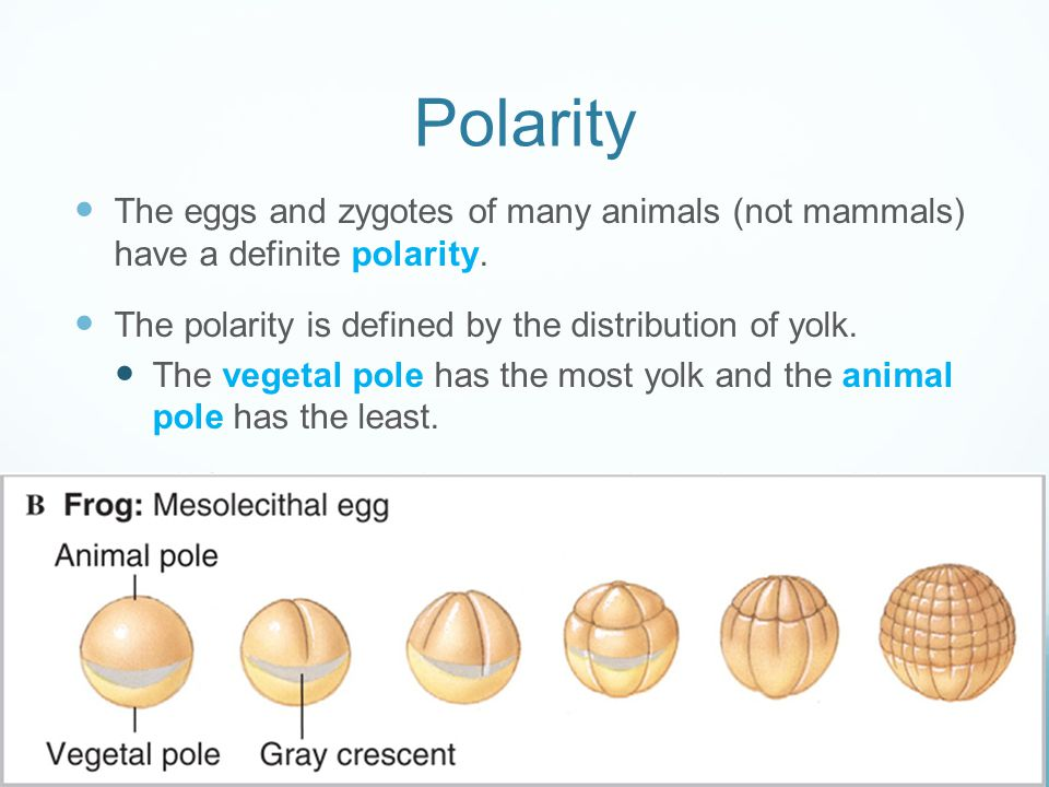 Polarity The eggs and zygotes of many animals (not mammals) have a definite polarity. The polarity is defined by the distribution of yolk.