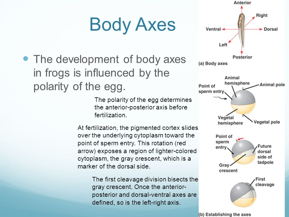 Body Axes The development of body axes in frogs is influenced by the polarity of the egg.