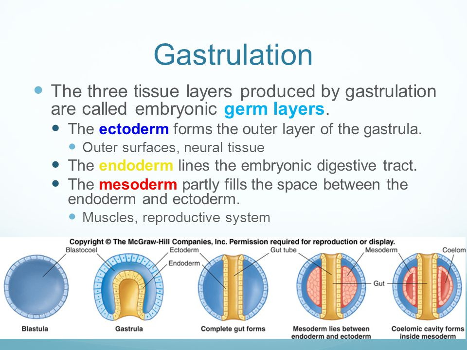 Gastrulation The three tissue layers produced by gastrulation are called embryonic germ layers. The ectoderm forms the outer layer of the gastrula.