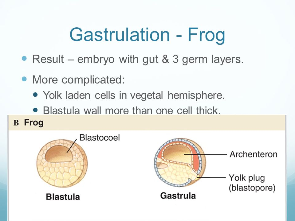 Gastrulation - Frog Result – embryo with gut & 3 germ layers.