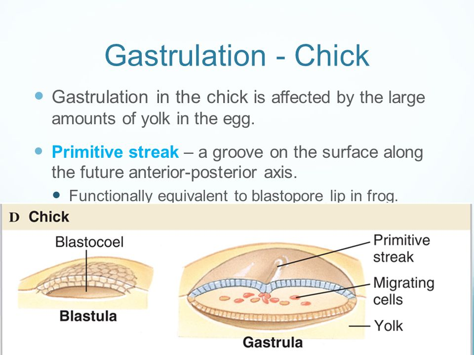 Gastrulation - Chick Gastrulation in the chick is affected by the large amounts of yolk in the egg.