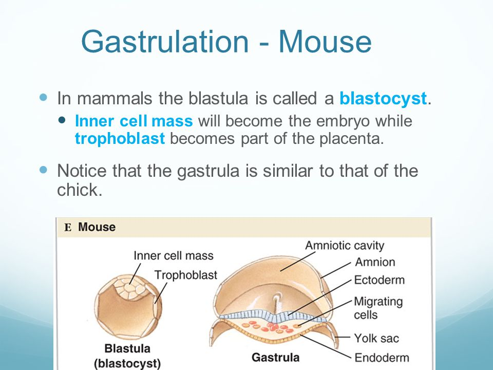 Gastrulation - Mouse In mammals the blastula is called a blastocyst.