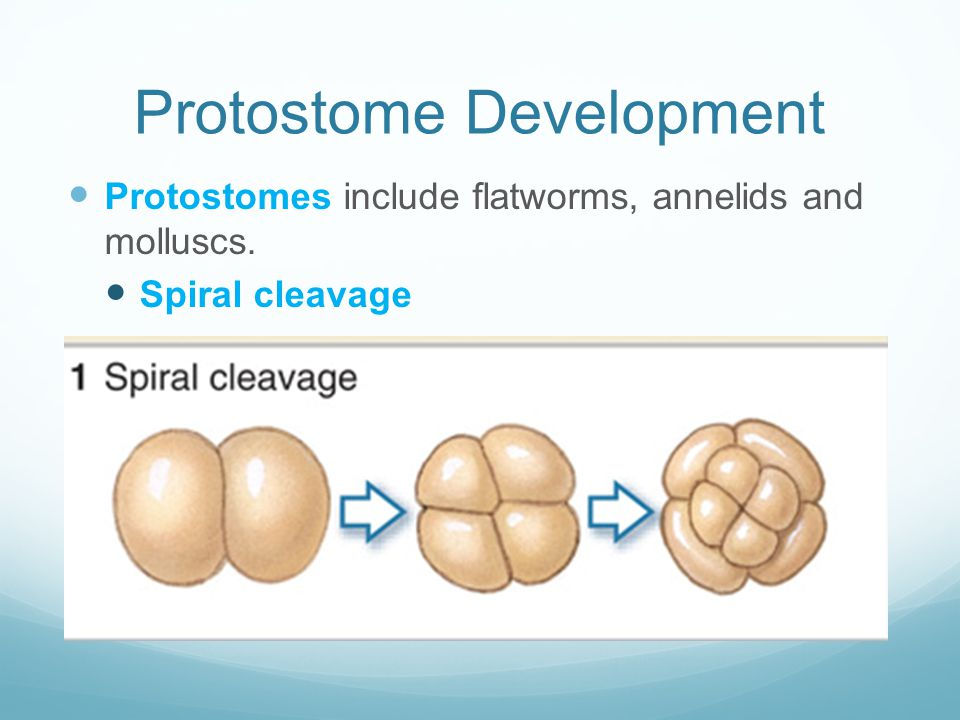 Protostome Development