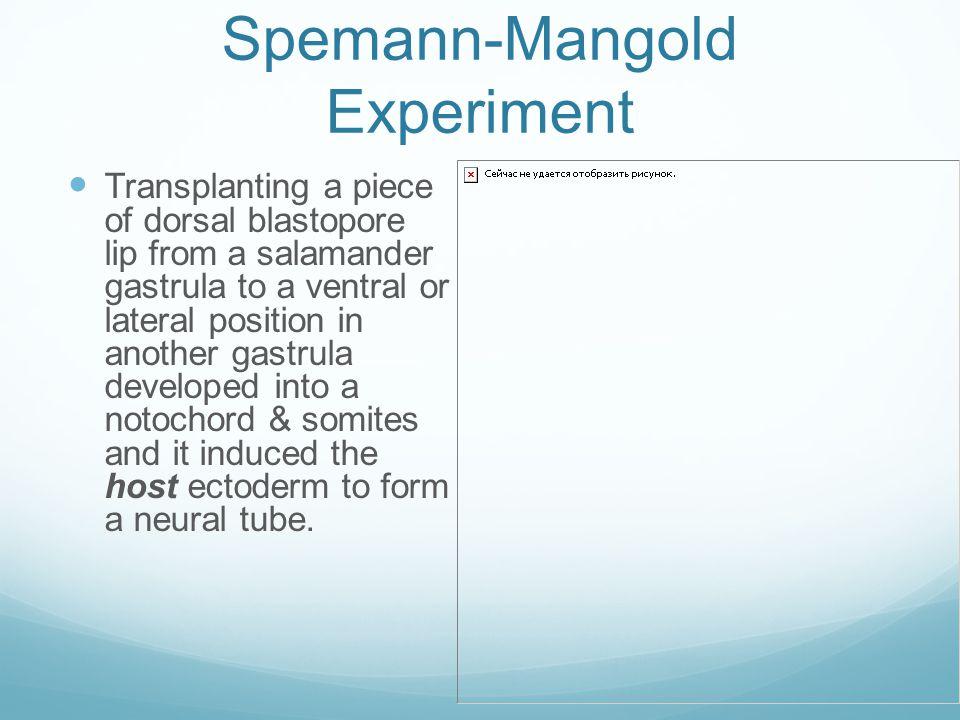 Spemann-Mangold Experiment