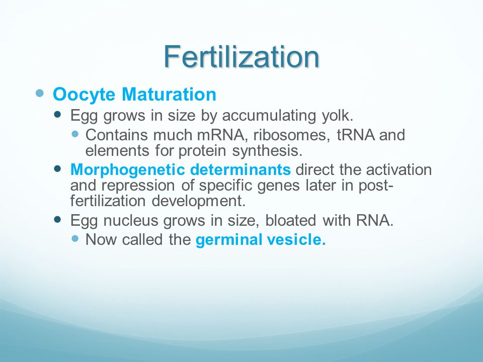 Fertilization Oocyte Maturation