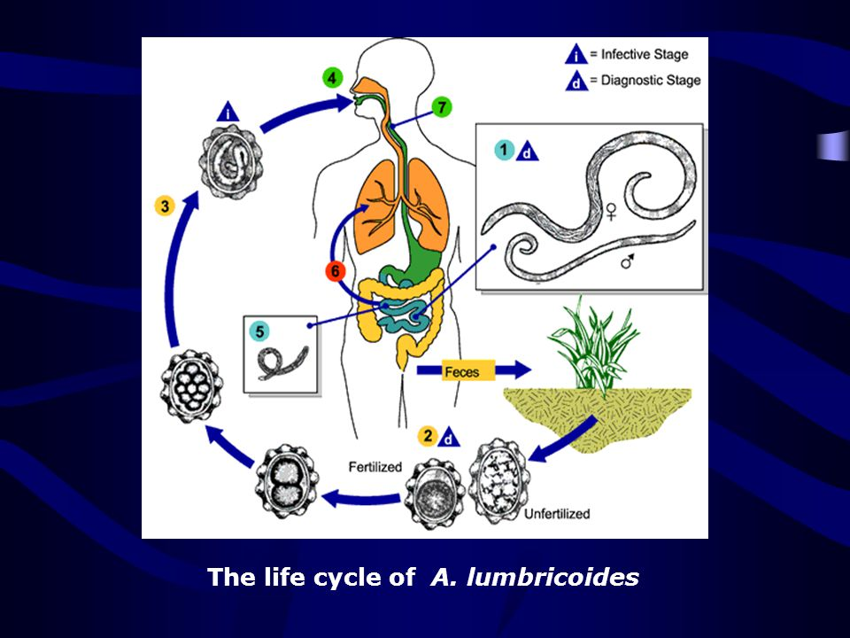 The life cycle of A. lumbricoides