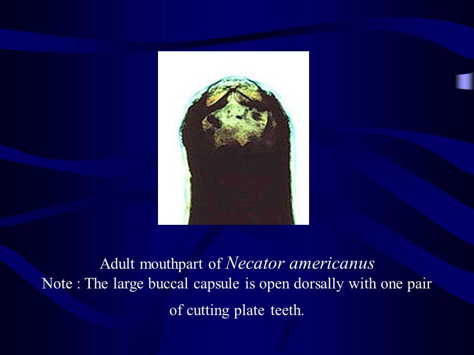 Adult mouthpart of Necator americanus