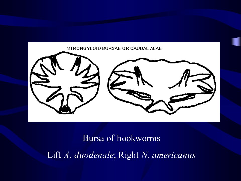 Lift A. duodenale; Right N. americanus