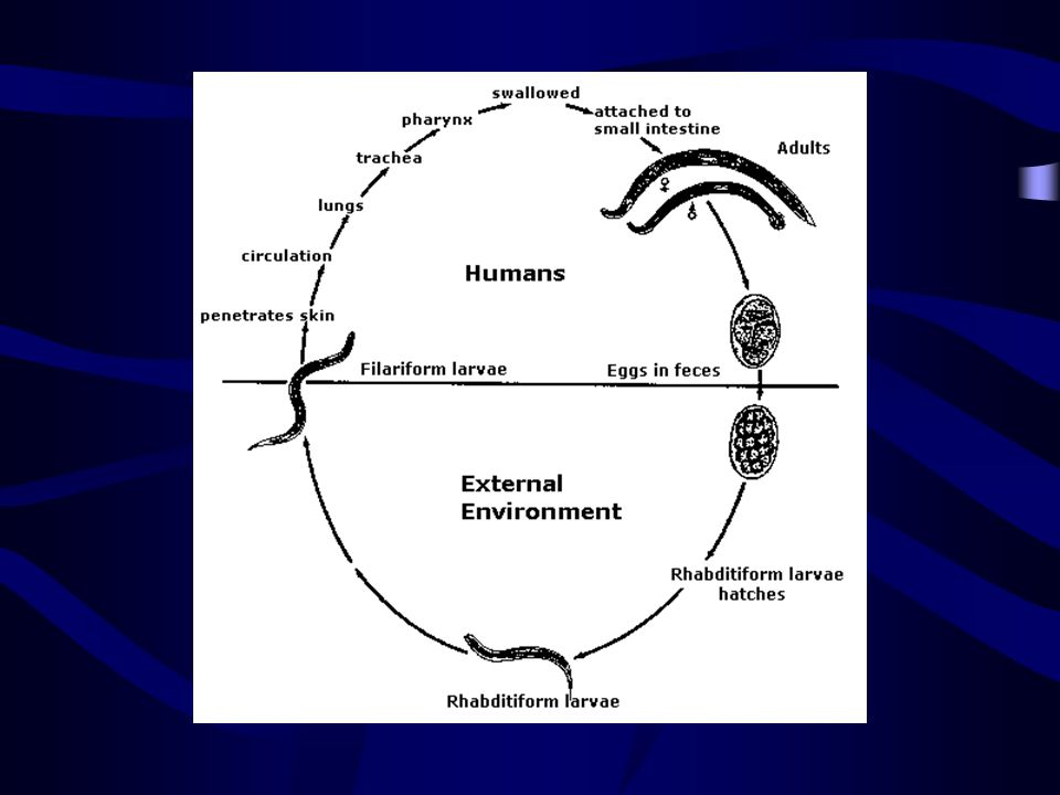 http://www.dpd.cdc.gov/dpdx/HTML/ImageLibrary/Hookworm_il.htm