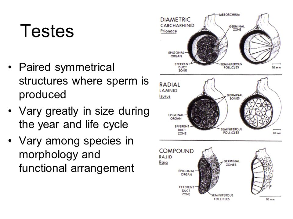 Testes Paired symmetrical structures where sperm is produced