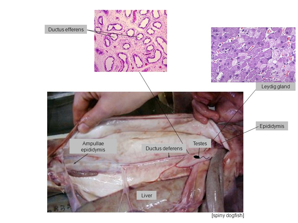 Ductus efferens Leydig gland. Epididymis. Ampullae. epididymis. Testes. Ductus deferens. Liver.