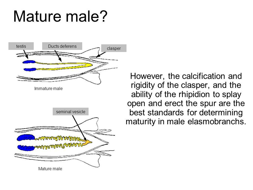 Mature male testis. Ducts deferens. clasper.