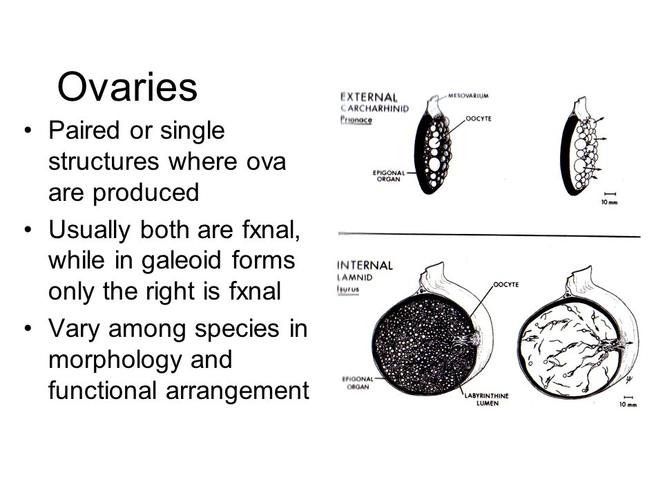 Ovaries Paired or single structures where ova are produced