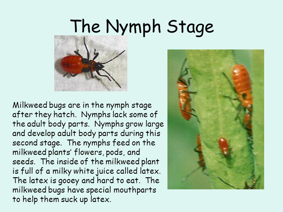 The Nymph Stage