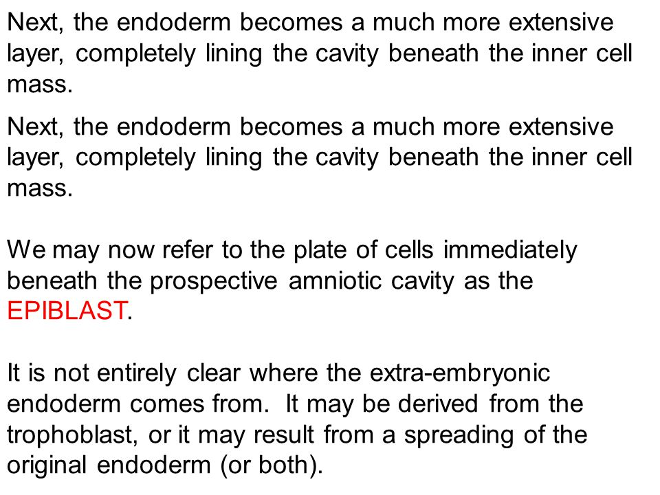 Next, the endoderm becomes a much more extensive layer, completely lining the cavity beneath the inner cell mass.