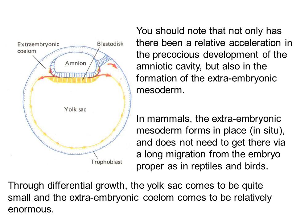 You should note that not only has there been a relative acceleration in the precocious development of the amniotic cavity, but also in the formation of the extra-embryonic mesoderm.