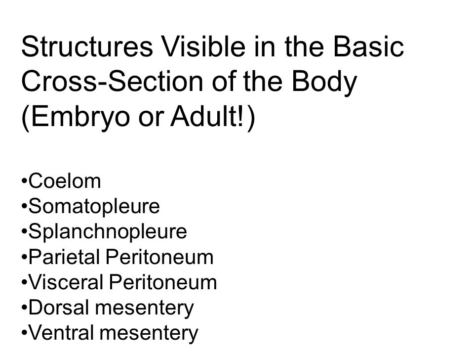 Structures Visible in the Basic Cross-Section of the Body (Embryo or Adult!)
