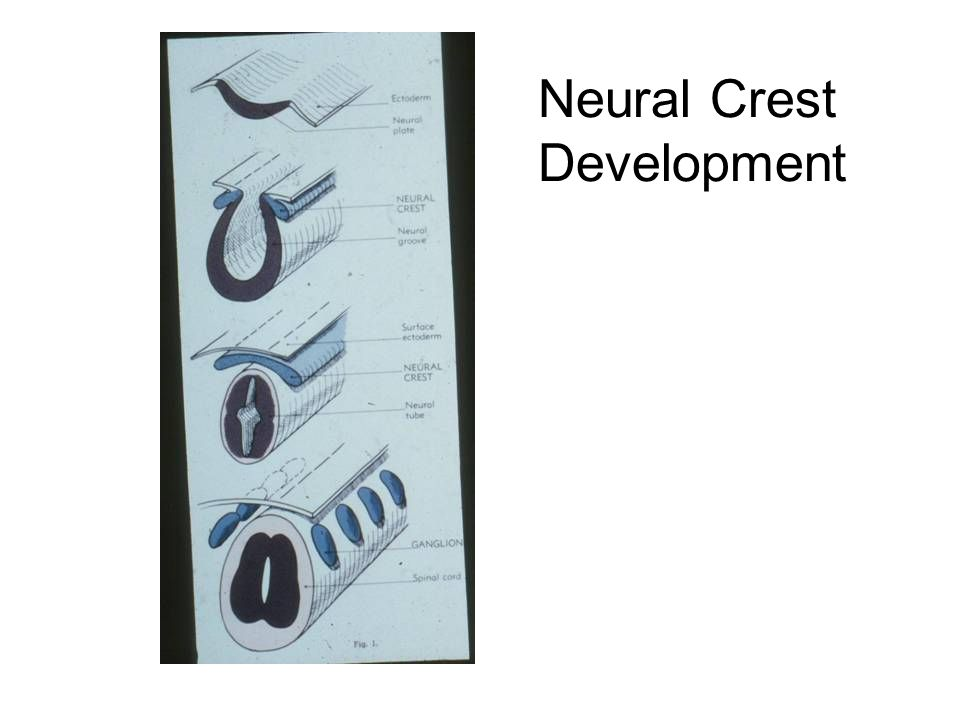 Neural Crest Development
