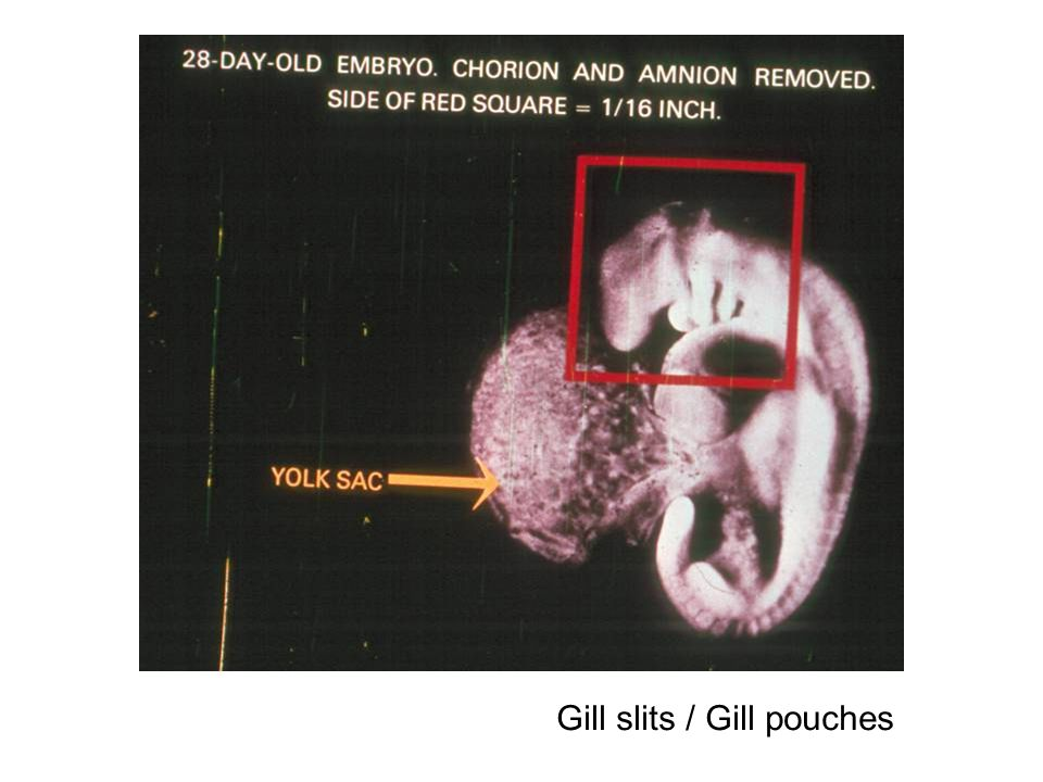 Gill slits / Gill pouches