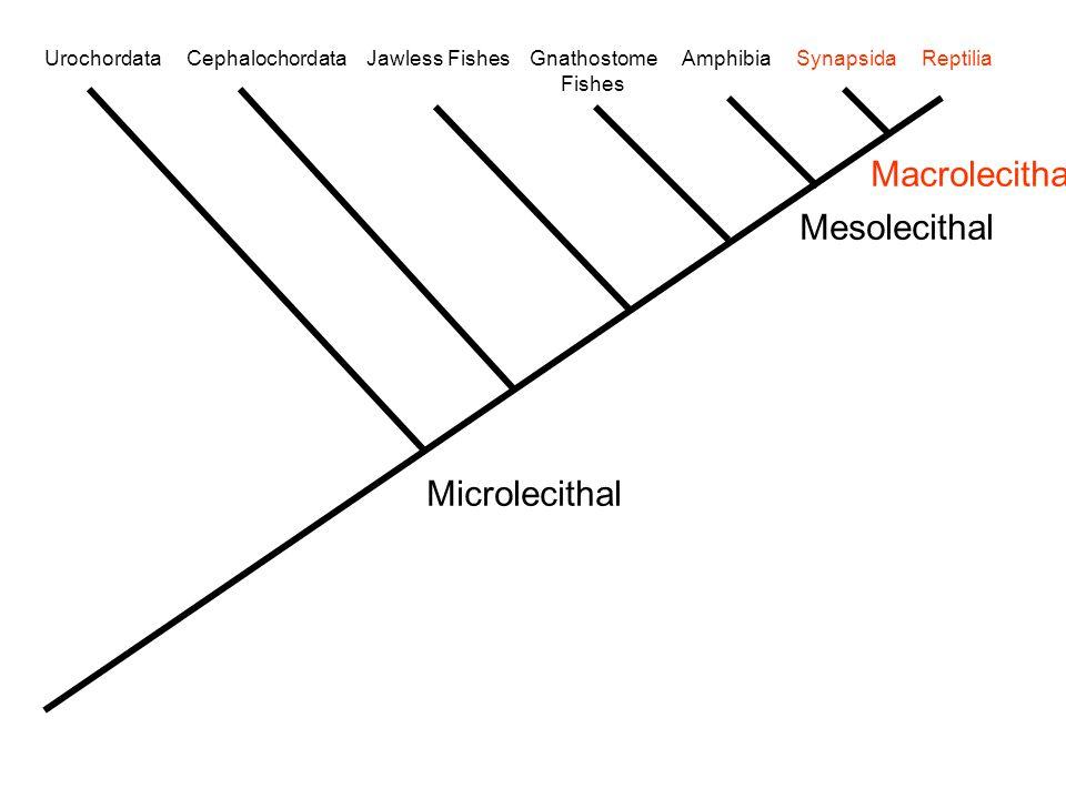 Macrolecithal Mesolecithal Microlecithal