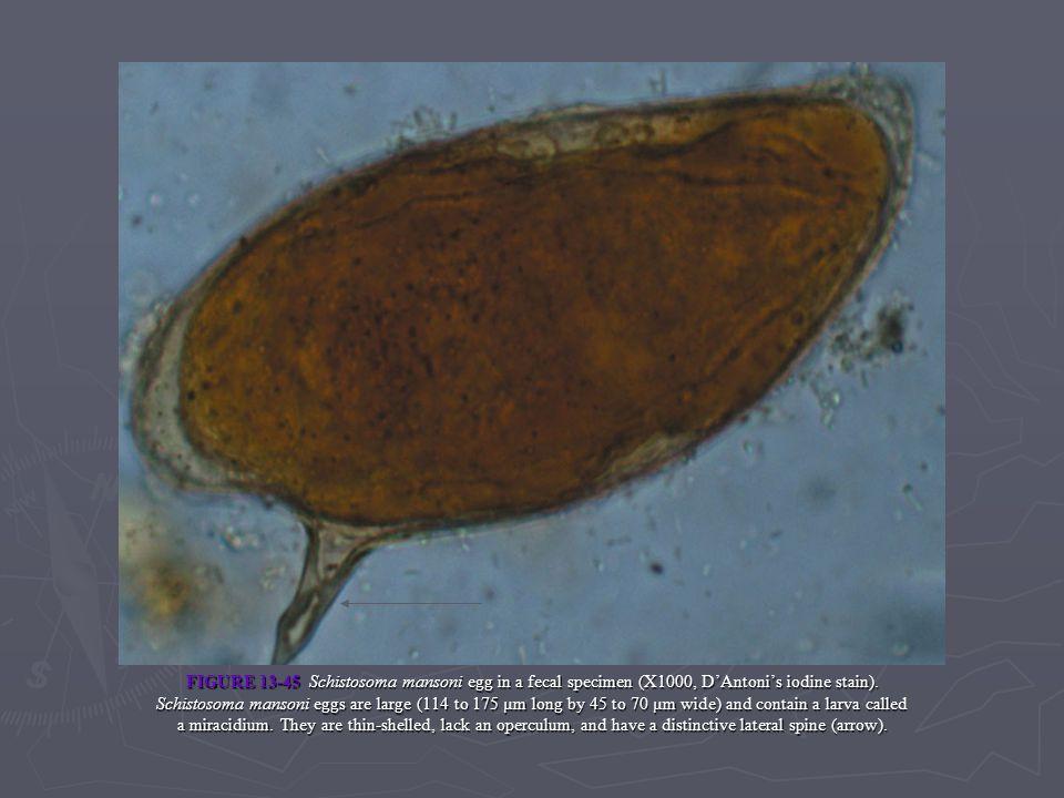 FIGURE 13-45 Schistosoma mansoni egg in a fecal specimen (X1000, D'Antoni's iodine stain).