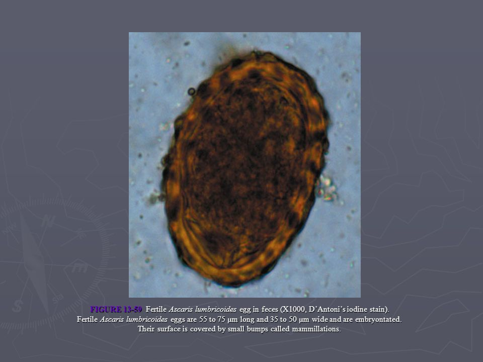 FIGURE 13-59 Fertile Ascaris lumbricoides egg in feces (X1000, D'Antoni's iodine stain).