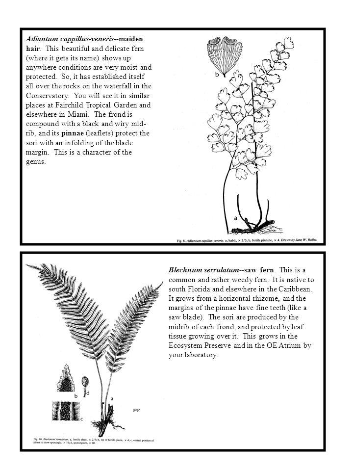 Adiantum cappillus-veneris--maiden hair