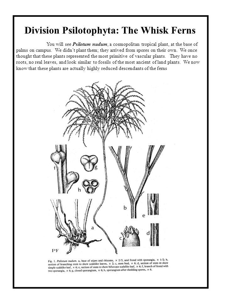 Division Psilotophyta: The Whisk Ferns