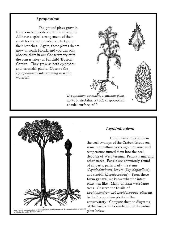 Lycopodium Lepidodendron