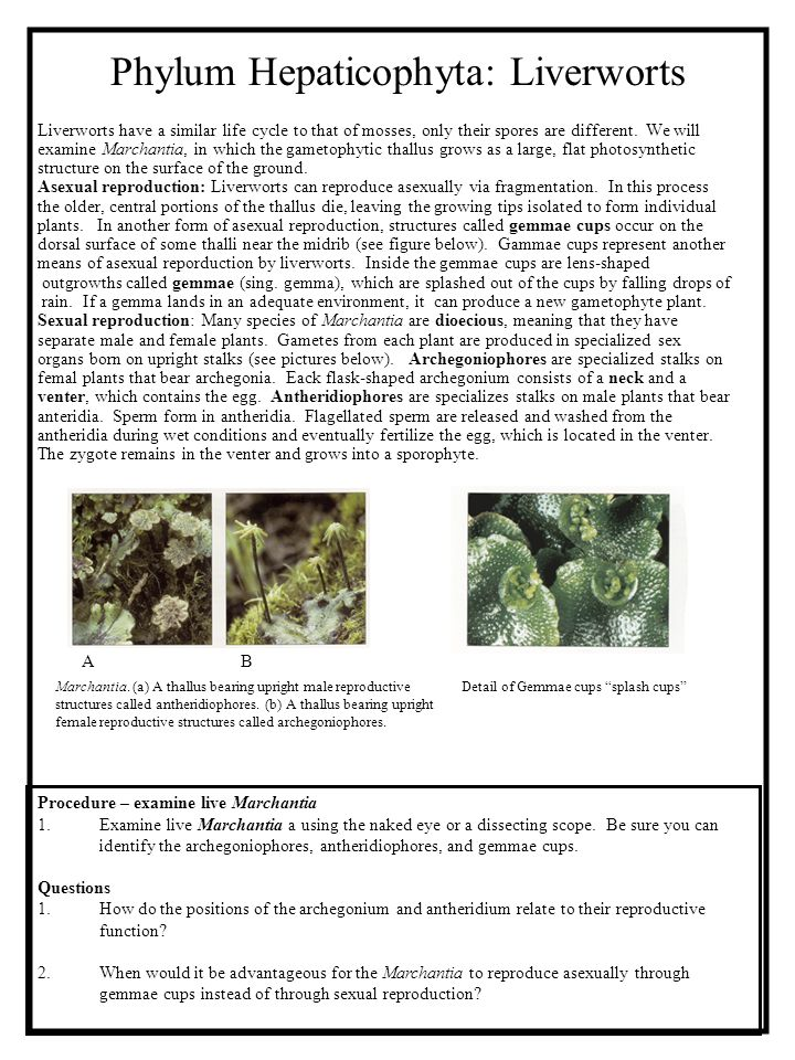 Phylum Hepaticophyta: Liverworts