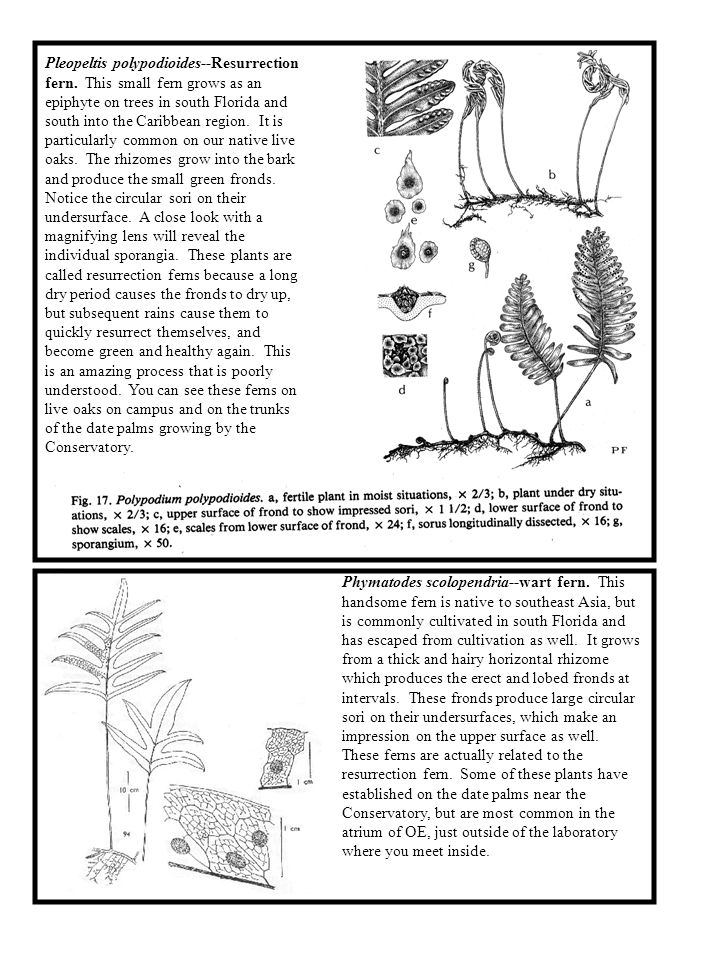 Pleopeltis polypodioides--Resurrection fern