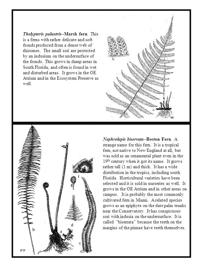 Thelypteris palustris--Marsh fern