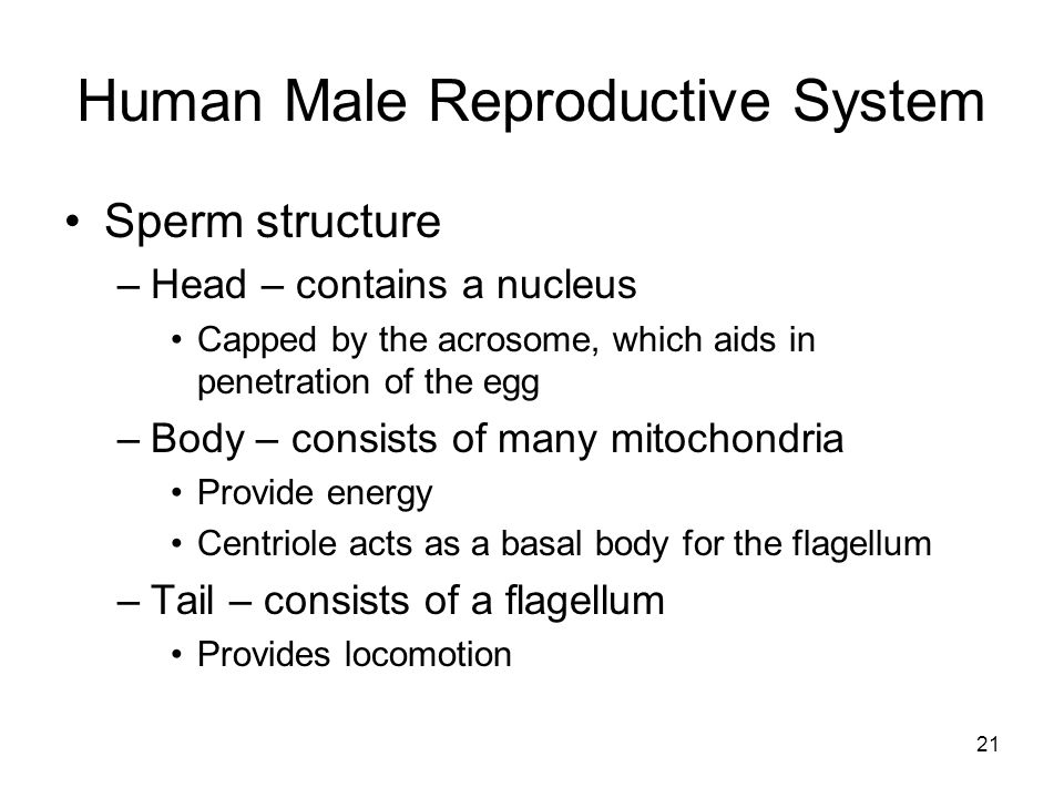 Human Male Reproductive System