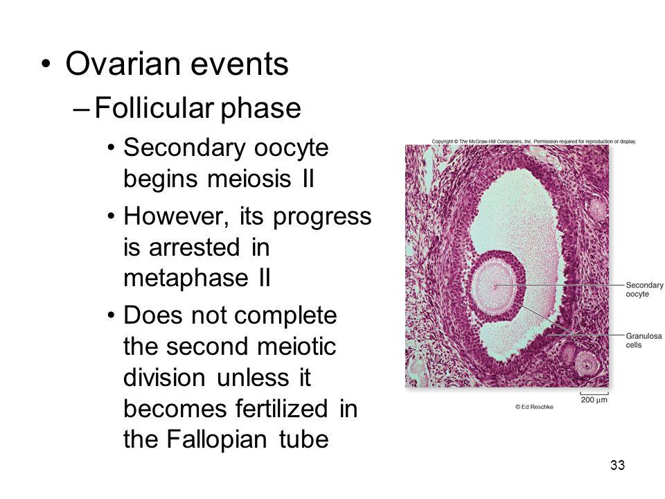 Ovarian events Follicular phase Secondary oocyte begins meiosis II