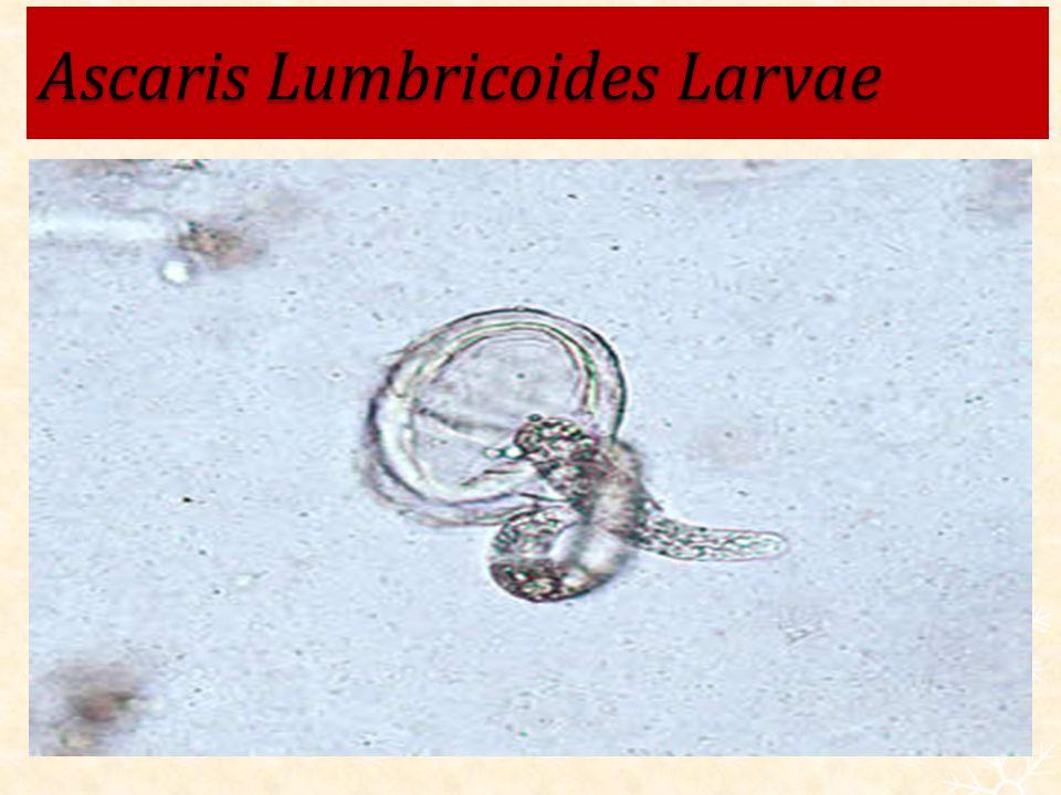 Ascaris Lumbricoides Larvae