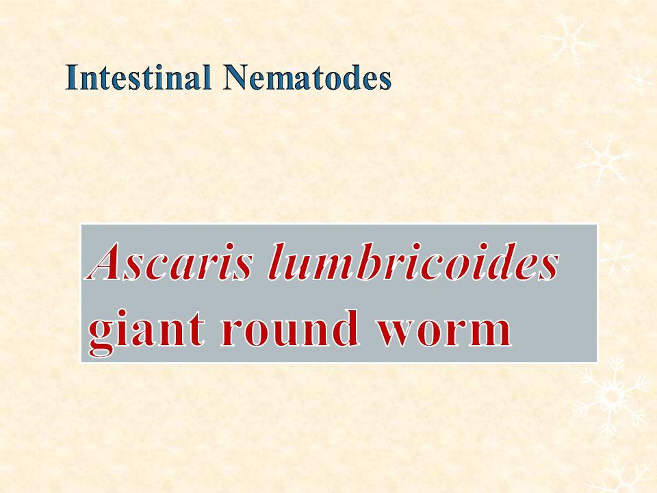 Ascaris lumbricoides giant round worm