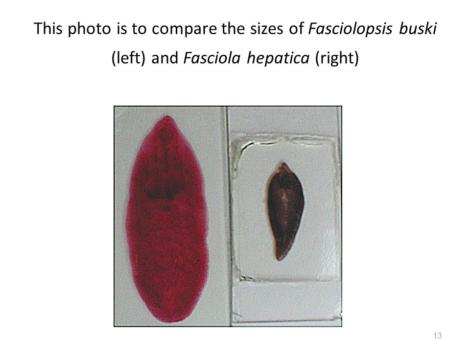 This photo is to compare the sizes of Fasciolopsis buski (left) and Fasciola hepatica (right)