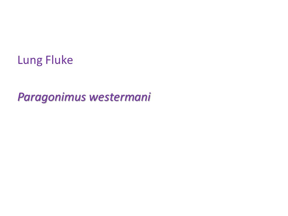 Lung Fluke Paragonimus westermani