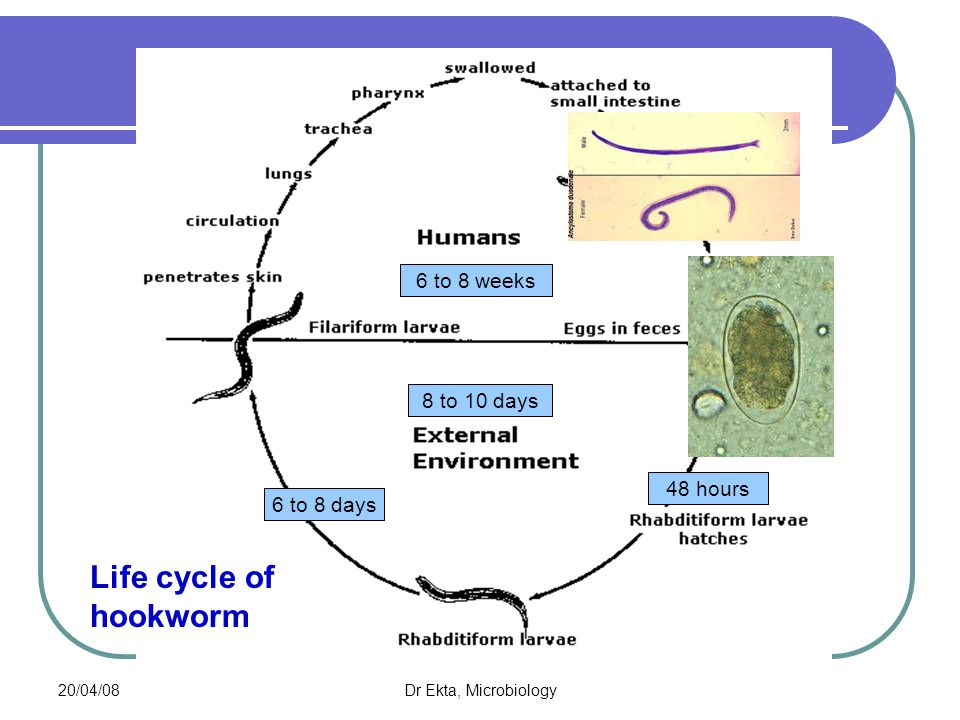 Life cycle of hookworm 6 to 8 weeks 8 to 10 days 48 hours 6 to 8 days