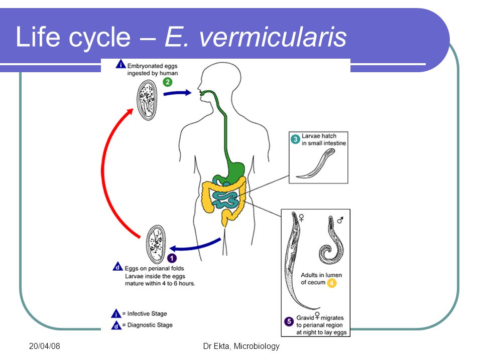 Life cycle – E. vermicularis