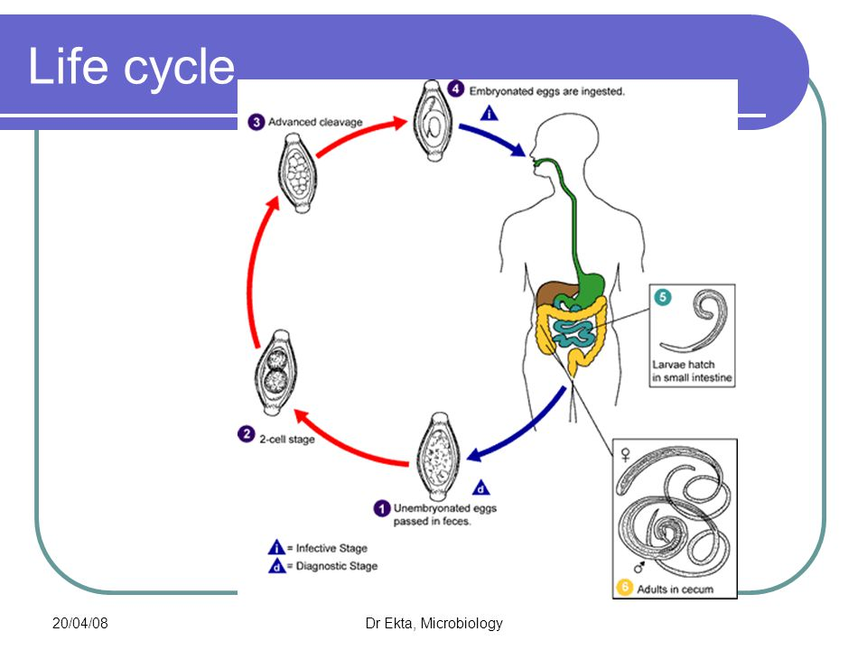 Life cycle 20/04/08 Dr Ekta, Microbiology
