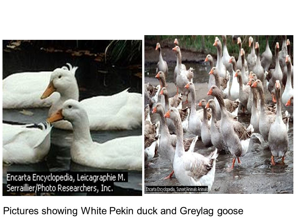 Pictures showing White Pekin duck and Greylag goose