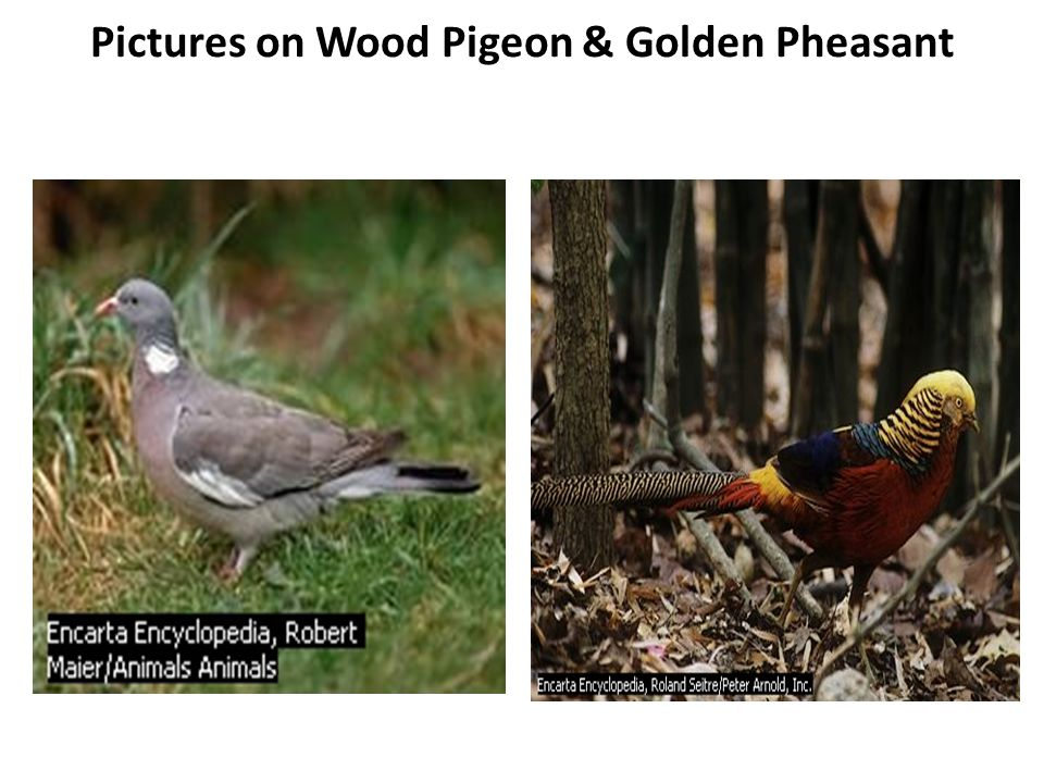 Pictures on Wood Pigeon & Golden Pheasant