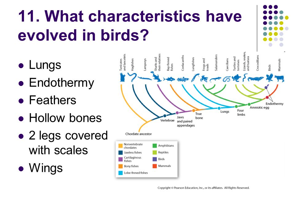 11. What characteristics have evolved in birds