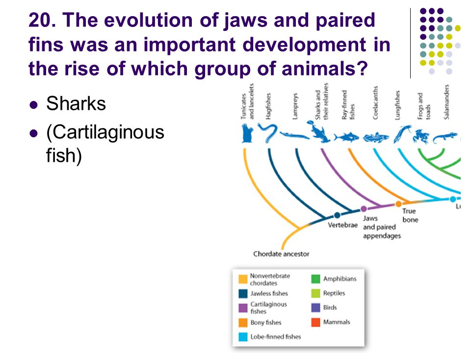 20. The evolution of jaws and paired fins was an important development in the rise of which group of animals