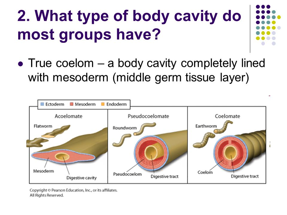 2. What type of body cavity do most groups have
