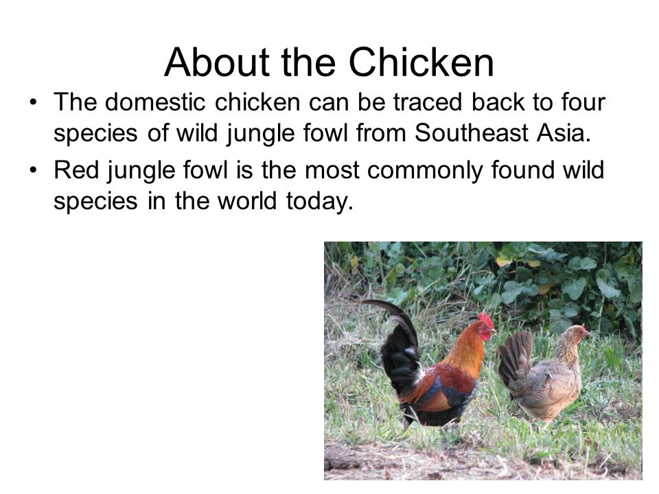 About the Chicken The domestic chicken can be traced back to four species of wild jungle fowl from Southeast Asia.