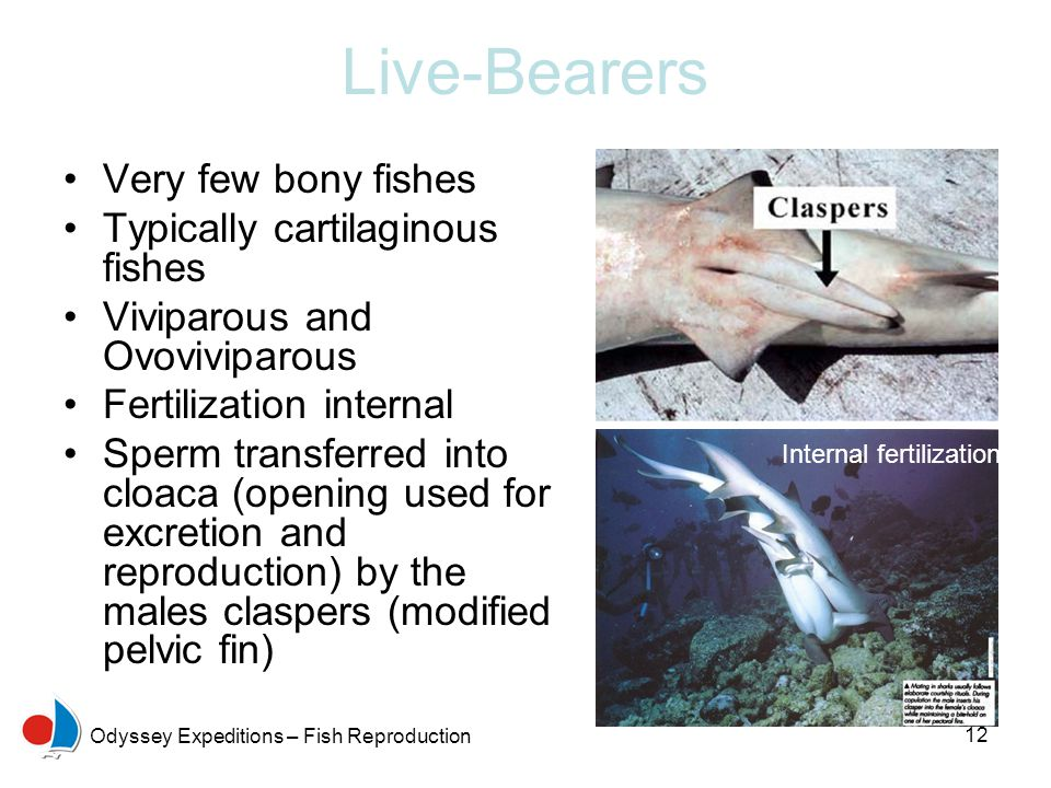Live-Bearers Very few bony fishes Typically cartilaginous fishes