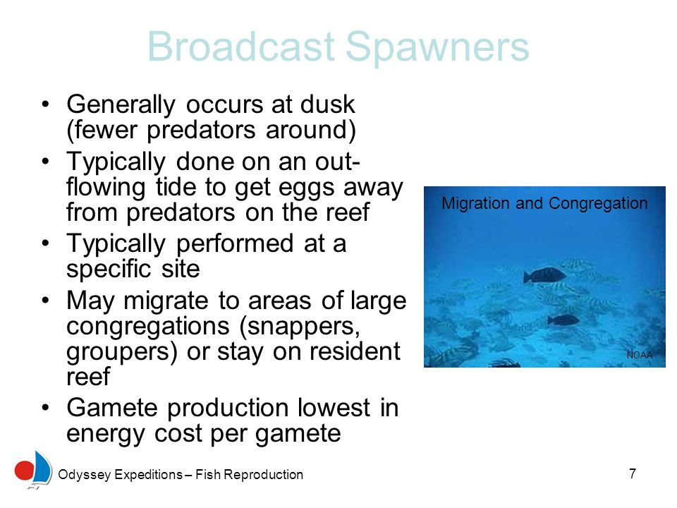 Broadcast Spawners Generally occurs at dusk (fewer predators around)